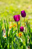 Purple Tulip On Blurred Background Of Grass