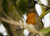 pic of red robin  - Robin Red Breast spotted in National Botanic Gardens Dublin Ireland - JPG