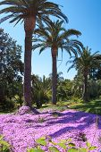 Pink Flowers Under The Palm Trees, Marimutra, Catalonia, Spain
