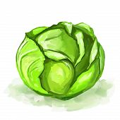 Cabbage vector illustration  hand drawn  painted watercolor