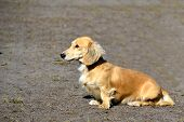 Light-coloured Dachshund