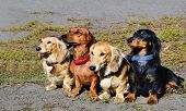 The Dachshund family.