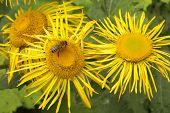 bee on wildflower in Sinjajevina mountain, Montenegro