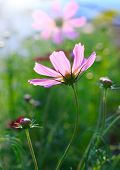 image of cosmos  - close up of pink cosmos flowers field with flare light behind and green blur background - JPG