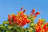 stock photo of trumpet flower  - Pyrostegia venusta or Orange trumpet flowers and blue sky background - JPG