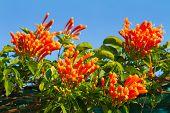 Pyrostegia venusta or Orange trumpet flowers and blue sky background