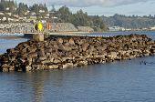 Sea Lions On Rocks In Newport Oregon.