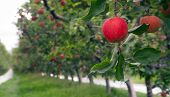 An Apple Orchard Yields Fresh Fruit Washington State