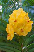 Yellow vanda orchid