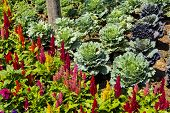 stock photo of cockscomb  - Cockscomb flower and vegetable in a garden - JPG
