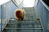 foto of chow  - Brown chow chow dog living in the european city - JPG