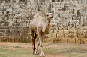 picture of hump day  - Closeup camel on outdoor nature view background - JPG