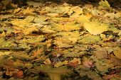 Autumn Background - Fallen Yellow Maple Leaves
