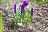 Purple crocuses with closed flowers