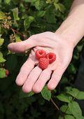 Three Raspberries On Man's Palm