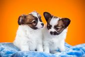 Two Papillon Puppies On A Orange Background