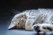 Black silver tabby kitten lying lazy