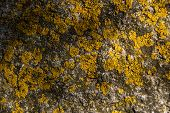 pic of lichenes  - Close up of yellow lichens on grey stone - JPG