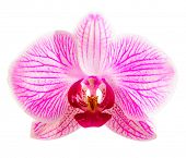 Beautiful Pink Orchid Flower Isolated on the White Background