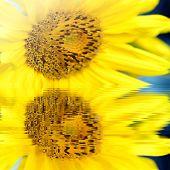 Sunflower In Water