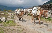 stock photo of caravan  - Donkey caravan in Nepal - Annapurna trekking