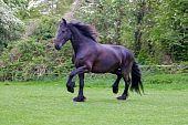 schöne friesische Pferd, Natur
