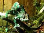 Veiled Chameleon 2
