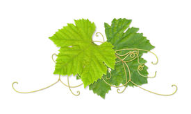 picture of wine grapes  - Grape leaves composite with path - JPG