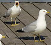pic of angry bird  - Angry gull is screaming on its colleagues  - JPG
