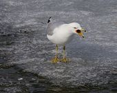 foto of angry bird  - The loud scream of an angry gull - JPG