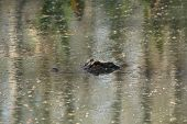 stock photo of crocodilian  - a picture of an american alligator in the water  - JPG