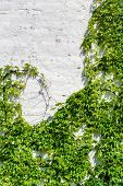 pic of ivy  - White Wall Covered With a Grape Ivy - JPG