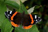 Red Admiral butterfly, Vanessa atalanta