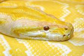 stock photo of burmese pythons  - closeup shot of an yellow burmese python - JPG