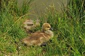 picture of baby goose  - Canada Goose gosling sitting in the grass by lake edge - JPG