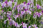 stock photo of purple iris  - close up of purple iris flower on flower bed - JPG