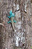 stock photo of chameleon  - Bule thai chameleon on tree - JPG