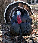 stock photo of wild turkey  - close up of a wild turkey back behind a house - JPG
