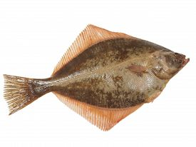picture of flounder  - big fish flounder on a white background - JPG