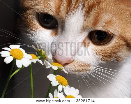poster of Cat smelling a daisy. Nose cats and flowers close. The cat is white with red