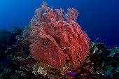 Pink Gorgonian Sea Fan With Fish
