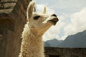 Llama in the ruins lost city Machu-Picchu