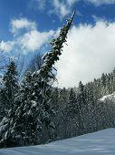 Beautiful pine branch