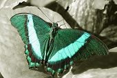 Pretty Turquoise Green And Teal Monarch Butterfly On Black And White Leaf