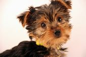 Adorable Terrier Puppy With Cute Face