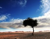 Alone tree in Sahara desert