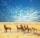 antelope gnu crowd