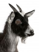 Close-up of Common Goat from the West of France, Capra aegagrus hircus, 6 months old, in front of wh