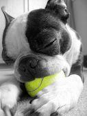 Boton Terriers Tennis Ball