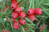 Yew Tree Berries